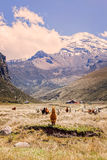 Small Herd Of Llamas Grazing Royalty Free Stock Images