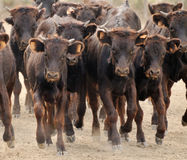 A small herd of male calves charging Stock Photography