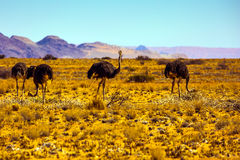 Small herd of ostriches royalty free stock photo