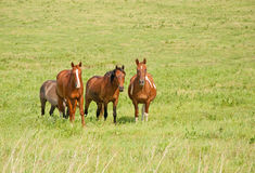 Small herd of ranch horses Royalty Free Stock Photo