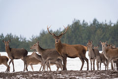 Small Herd Of Reindeer Red Deer On The Move And One Adult Buck With Large Antlers Standing Still And Looking At You. Adult Red D Royalty Free Stock Photos