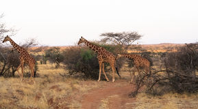 Small herd of reticulated giraffes. Samburu Royalty Free Stock Image