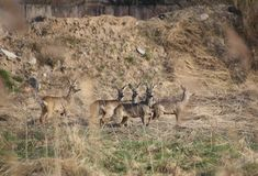 Small Herd Of Roe Deer Royalty Free Stock Image