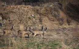 Small Herd Of Roe Deer Stock Image