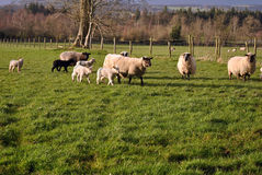 Small herd of sheep and lambs Stock Photography
