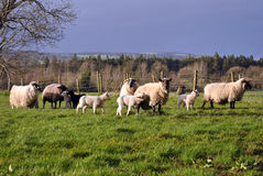 Small herd of sheep and lambs Stock Images