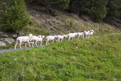 Small herd of sheep Stock Photography