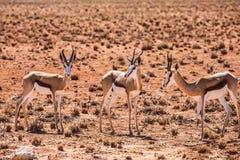 Small herd of springbok antelope Stock Photo