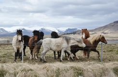 The Small Herd of Islandic Ponnies Standing behind the Fence on Meadow under Mountains. The Small Herd of Typical Islandic Ponnies Standing behind the Fence on royalty free stock images