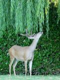 Wild deer under back yard willow tree Royalty Free Stock Photography