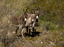 Small Herd of Wild Donkeys in Arizona Royalty Free Stock Photo