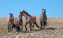 Small Herd of Wild Horses Equus ferus caballas on Sykes Ridge in the Pryor Mountains Wild Horse Range in Montana Royalty Free Stock Image
