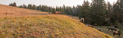 Small herd of wild horses at the grassy edge of a waterhole in the morning in the Pryor Mountains Wild Horse Range in Montana USA. Small herd of wild horses at Stock Photo