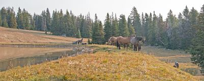 Small herd of wild horses at the grassy edge of a waterhole in the morning in the Pryor Mountains Wild Horse Range in Montana USA. Small herd of wild horses at Royalty Free Stock Images