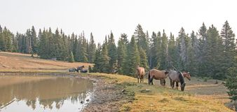 Small herd of wild horses at the grassy edge of a waterhole in the morning in the Pryor Mountains Wild Horse Range in Montana USA. Small herd of wild horses at Stock Photos