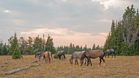 Small herd of wild horses grazing next to deadwood logs at sunset in the Pryor Mountains Wild Horse Range in Montana USA Royalty Free Stock Photography
