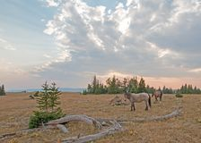 Small herd of wild horses grazing next to deadwood logs at sunset in the Pryor Mountains Wild Horse Range in Montana USA Stock Photos
