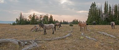 Small herd of wild horses grazing next to deadwood logs at sunset in the Pryor Mountains Wild Horse Range in Montana USA Royalty Free Stock Images