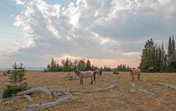 Small herd of wild horses grazing next to deadwood logs at sunset in the Pryor Mountains Wild Horse Range in Montana USA Royalty Free Stock Image