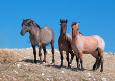 Small Herd of Wild Horses on Sykes Ridge in the Pryor Mountains Wild Horse Range in Montana Royalty Free Stock Images