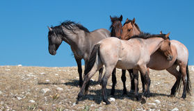 Small Herd of Wild Horses on Sykes Ridge in the Pryor Mountains Wild Horse Range in Montana Royalty Free Stock Photography