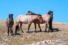 Small Herd of Wild Horses on Sykes Ridge in the Pryor Mountains Wild Horse Range in Montana Stock Images