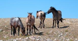 Small Herd of Wild Horses on Sykes Ridge in the Pryor Mountains Wild Horse Range in Montana Royalty Free Stock Image
