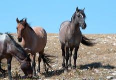 Small Herd of Wild Horses on Sykes Ridge in the Pryor Mountains Wild Horse Range in Montana Royalty Free Stock Photos