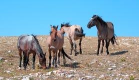 Small Herd of Wild Horses on Sykes Ridge in the Pryor Mountains Wild Horse Range in Montana Stock Photo