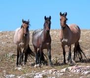Small Herd of Wild Horses on Sykes Ridge in the Pryor Mountains Wild Horse Range in Montana Stock Photos