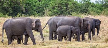 Herd of Indian elephants with young. Small herd of wild Indian elephants including young stock image