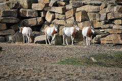 Small herd or wild oryx Royalty Free Stock Photos