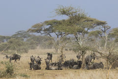 Small herd of wildebeest having a rest under an acacia tree in t Royalty Free Stock Photo