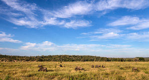 Small herd of Wildebeest walking through a field Stock Photo