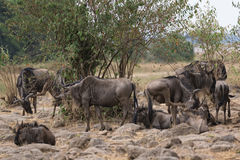 Small herd of  Wildebeests Royalty Free Stock Photo