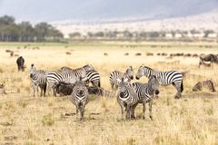 Zebra and wildebeest in the grasslands of the Masai Mara Royalty Free Stock Photography