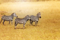 Small herd of zebras standing close for protection Stock Photography