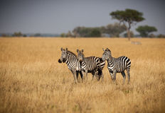 Small herd of Zebras standing close for protection Stock Image