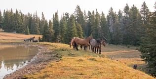 Small herds of wild horses at the grassy edge of a waterhole in the morning in the Pryor Mountains Wild Horse Range in Montana USA. Small herds of wild horses at Stock Photography