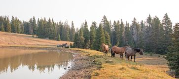 Small herds of wild horses at the grassy edge of a waterhole in the morning in the Pryor Mountains Wild Horse Range in Montana USA. Small herds of wild horses at Stock Image