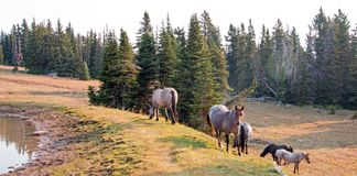 Small herds of wild horses at the grassy edge of a waterhole in the Pryor Mountains Wild Horse Range in Montana USA. Small herds of wild horses at the grassy Royalty Free Stock Photo