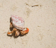 Small Hermit Crab. Close Up of a Small Hermit Crab Walking on the Beach royalty free stock photos