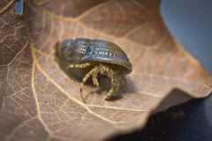 Small hermit crab with its beautiful black shell  on a brown sheet Royalty Free Stock Photography