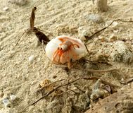 Small hermit crab in natural environment Royalty Free Stock Photography