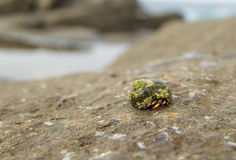 Small hermit crab in seasnail shell Stock Photo