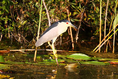 Small heron bird standing on branch in Danube Delta. Small heron bird standing on a branch from a Danube Delta canal, Romania Stock Photo
