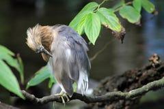 Small heron grooming itself Stock Photos