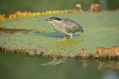 A Small Heron Royalty Free Stock Photo