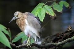 Small heron Stock Photography