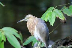Small heron Royalty Free Stock Photo